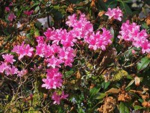 Azaleodendron 'Harditzer Beauty'
