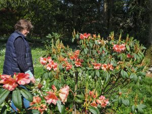 Rhododendron floccigeum
