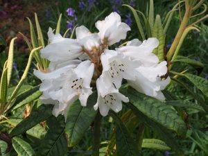 Rhododendron tanastyllum