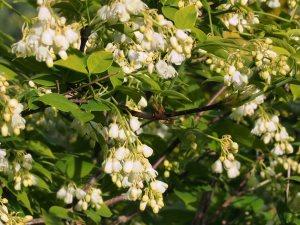 Staphylea trifoliata