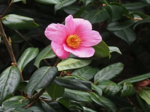 Camellia x williamsii 'Mary Jobson'