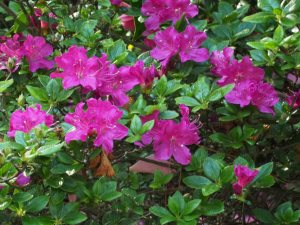 semi evergreen / near evergreen azaleas
