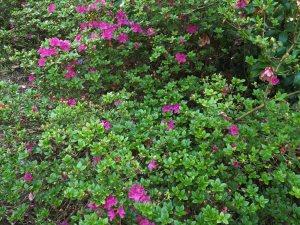 semi evergreen / near evergreen azaleas