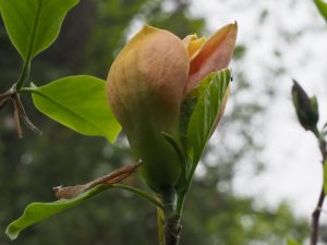Magnolia 'Judy Zuk'