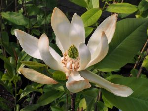 Magnolia obovata x Magnolia fraseri