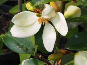 Michelia laevifolia 'Gail's Favourite'