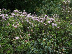 Rhododendron chapmanii