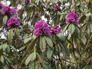 Another Rhododendron niveum