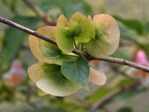 DIPELTA floribunda