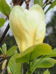 Magnolia 'Carlos'
