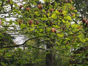 Magnolia x brooklynensis 'Evamaria'