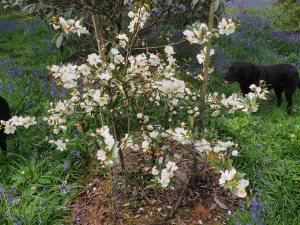 Magnolia laevifolia 'Summer Snowflake'
