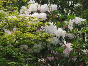 Rhododendron loderi 'King George' & Cornus kousa 'Satomi'