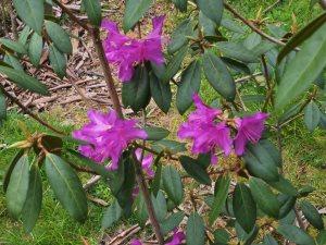 Rhododendron rubiginosum 'Ted Millais'