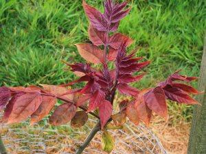 Ailanthus altissima 'Purple Dragon'