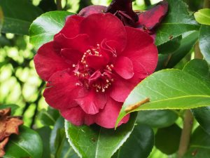 Camellia 'Dr Burnside