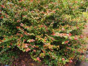 Camellia lutchuensis hybrid