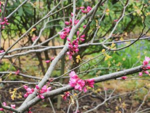 Cercis canadensis 'Appalacian Red'