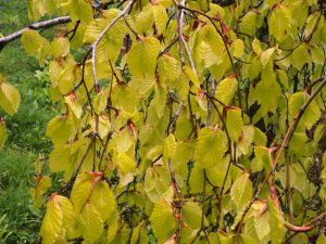 Fagus sylvatica 'Pendula Aurea'