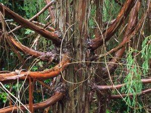 Juniperus recurva var. 'Coxii'