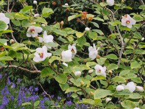 Magnolia sieboldii 'Mishiko Renge'