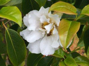 reticulata 'White Form'