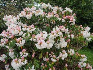 Rhododendron 'Corona'