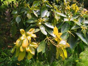 Trochodendron aralioides