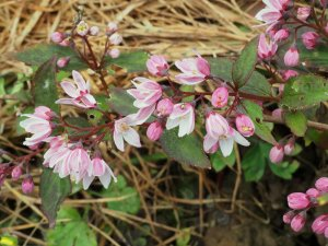 Deutzia x rosea 'Yuki Cherry Blossom'