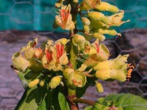 Aesculus x mississipiensis