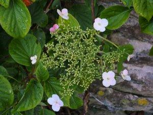 Hydrangea anomala spp. quelpartensis