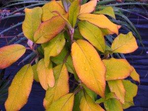 Hydrangea sargentiana 'Gold Rush'