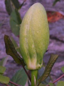 Magnolia fraseri var. pyramidalis