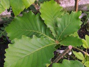 Quercus yunnanensis