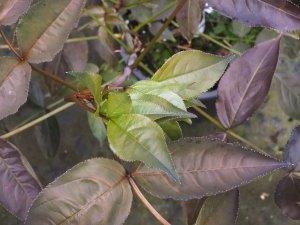 Staphylea colchica 'Black Jack'