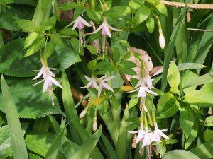 Fuchsia magellanica 'Alba'