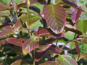Betula insignis 'Fansipanensis'