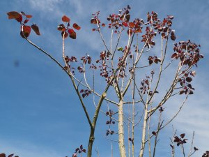 Populus deltoides 'Purple Tower'