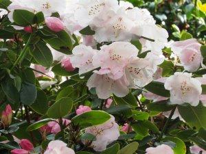 Rhododendron 'Veryan Bay'