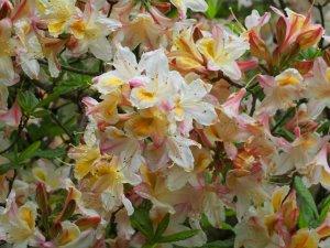deciduous azalea