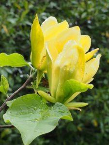 Magnolia 'Ossie's Yellow'