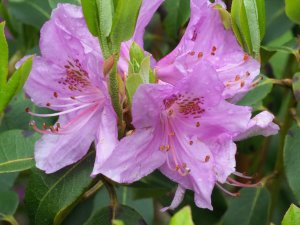 Rhododendron heliolepsis