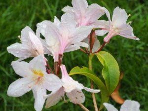 Rhododendron klossii