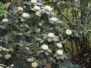 Rhododendron sinogrande (seedling)