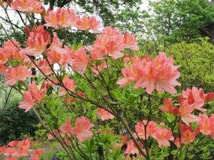 Azalea mollis 'Apple Blossom'