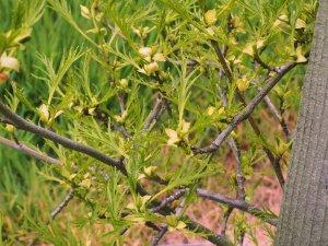 Fagus sylvatica var. heterophylla f. laciniata