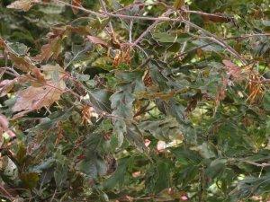 Fagus sylvatica 'Asplenifolia'?