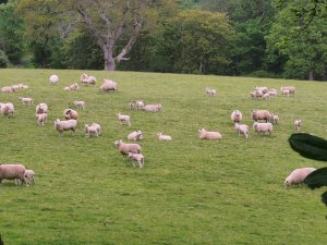 Early spring lambs