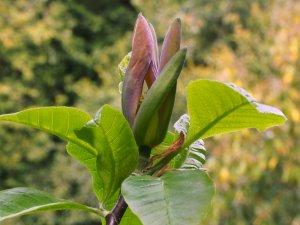 Magnolia x brooklynensis 'Moonspire'