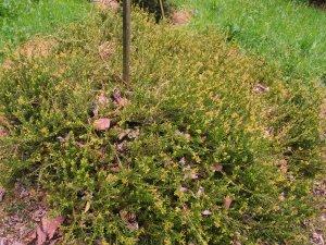 Podocarpus nivalis 'Park Cover'